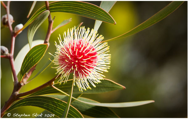 Aireys Australia autumn flower