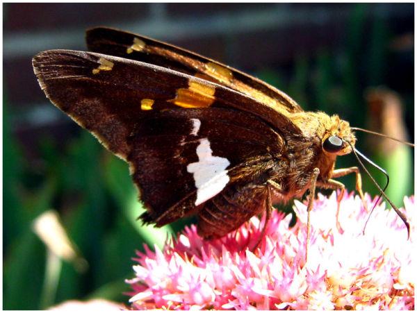 Butterfly enjoying nectar