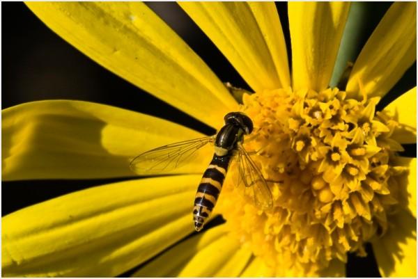 Syrphidae macro