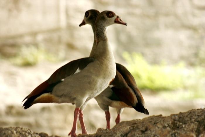criss-cross ducks