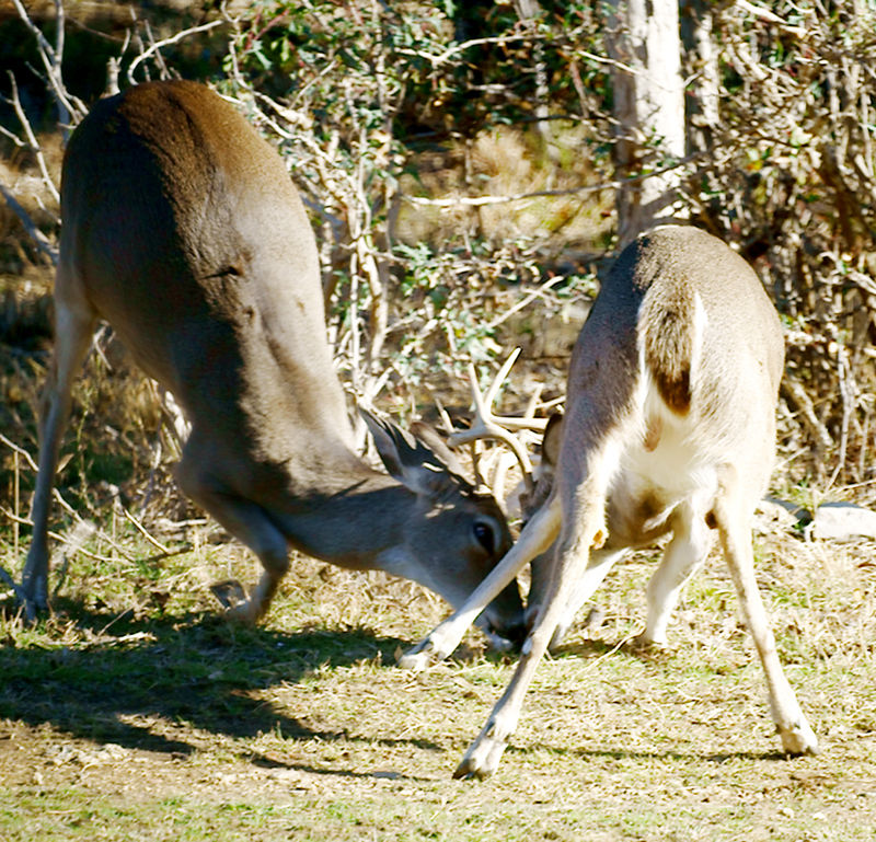buck fight 2
