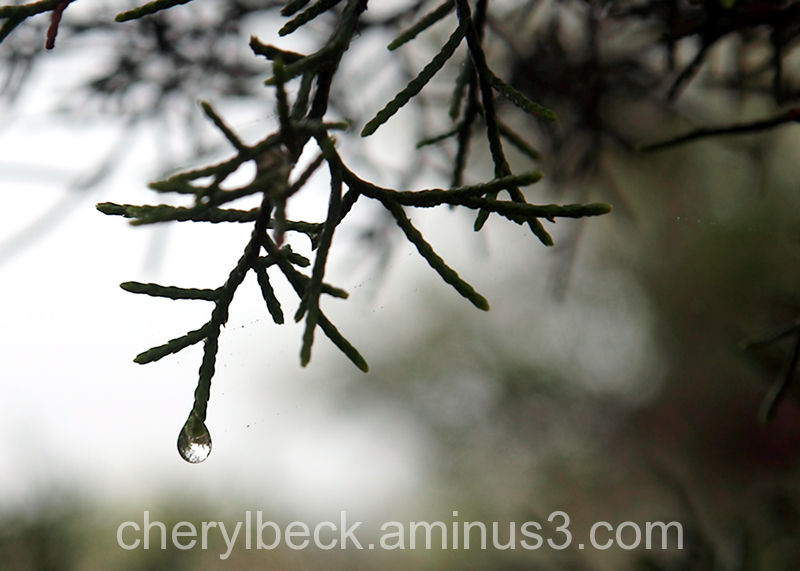 rain drop on juniper