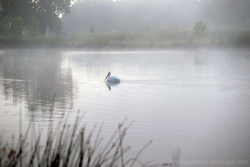 Pelican, Pelican Pond, St. Vrain State Park, Color