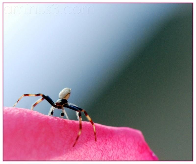spider macro rose