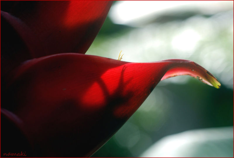a balisier flower, rainforest, Dominica