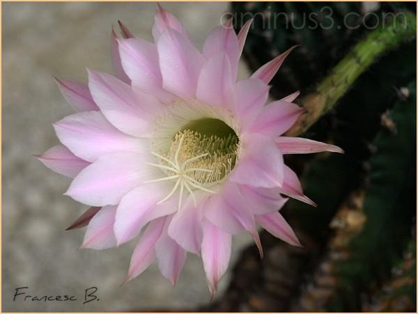 Fleur d'Echinopsis - 2