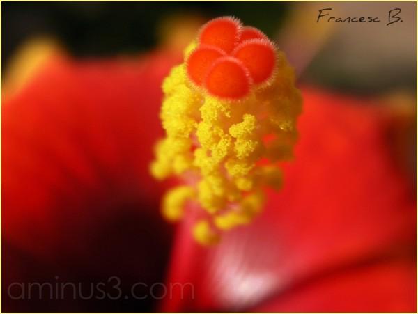 Corazón de Hibiscus