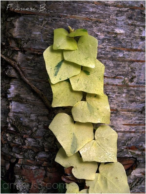Lierre sur tronc de bouleau