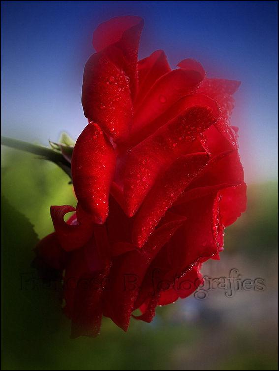 macro fleurs roses rouge