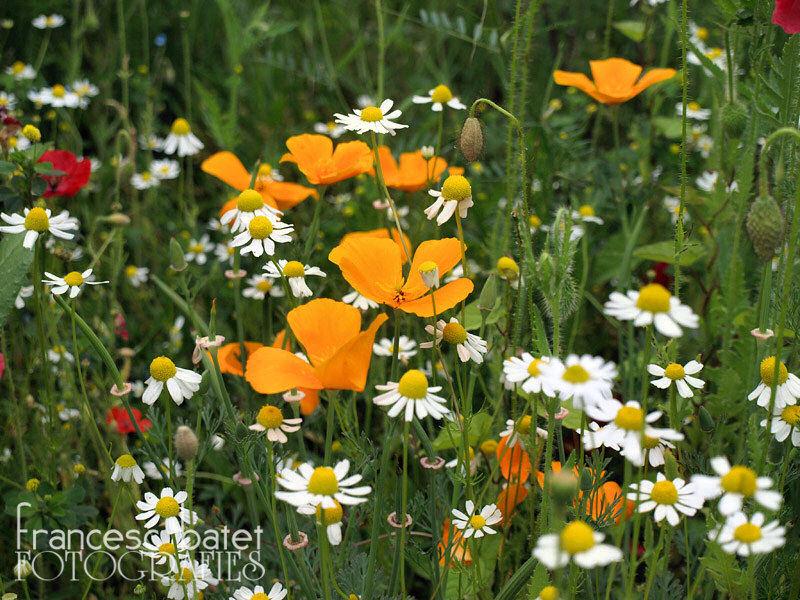 Fleurs des champs (en ville) - 2