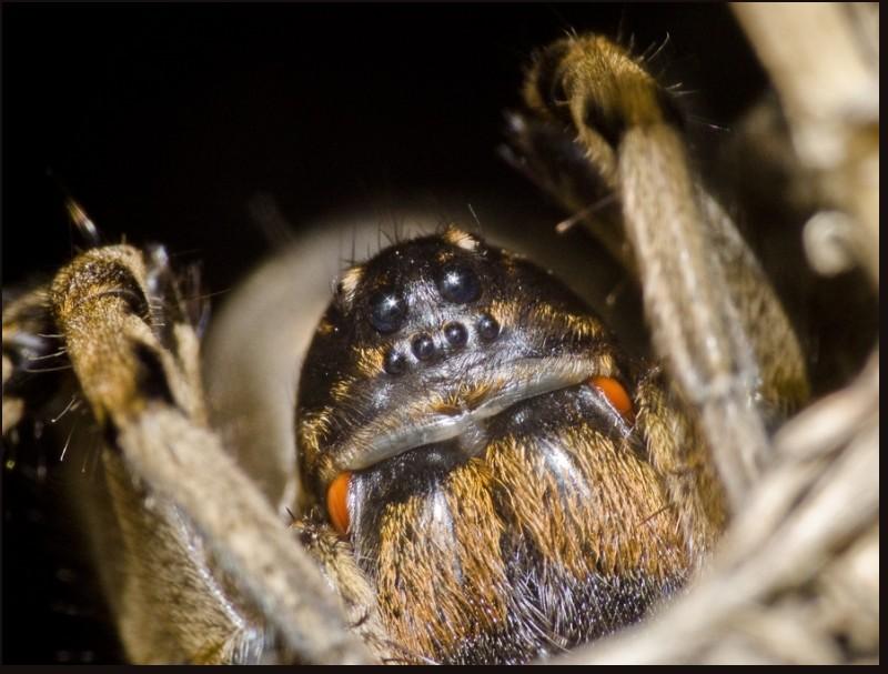spider paianjen valenttin