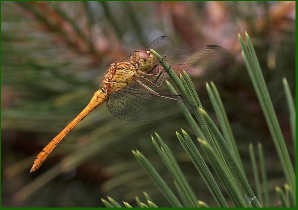 valenttin libelula libellule dragonfly gold green