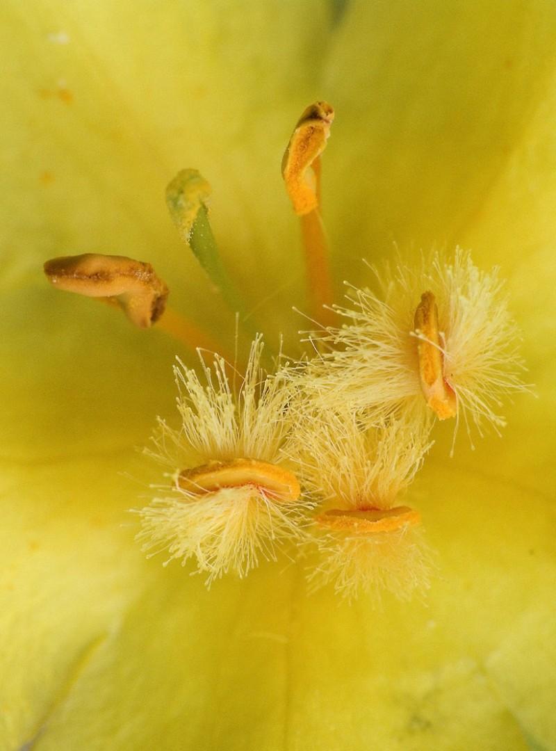 valenttin yellow