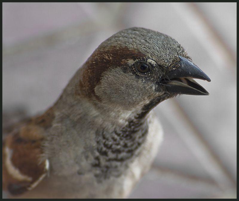 moineau/sparrow