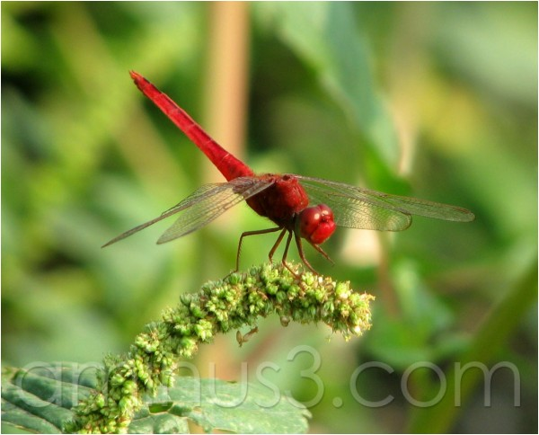 capung, dragonfly