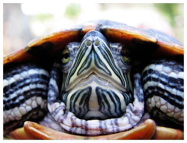turtle, kura-kura