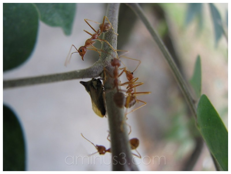 semut merah ants