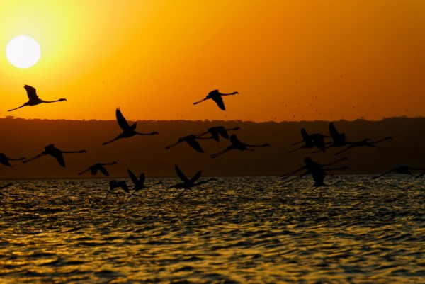 Flamingoes taking off Shalla lake, Ethiopia