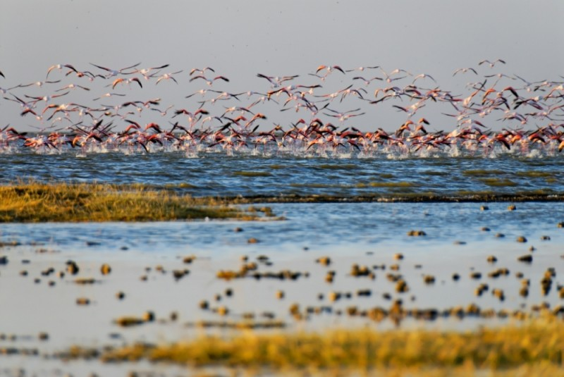 Flamingoes taking off Abiyata lake, Ethiopia