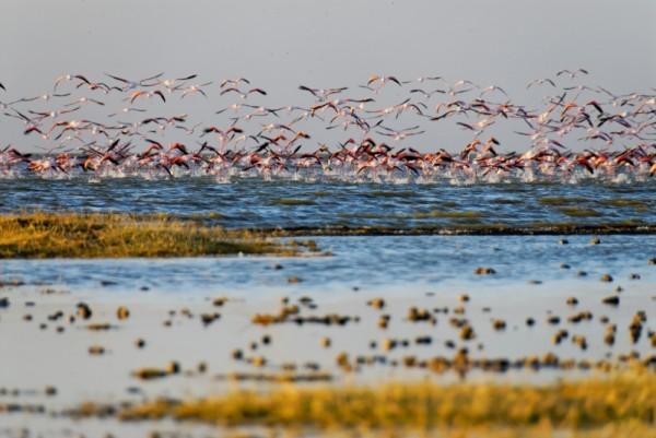 Flamingoes taking off Abiyata lake, Ethiopia
