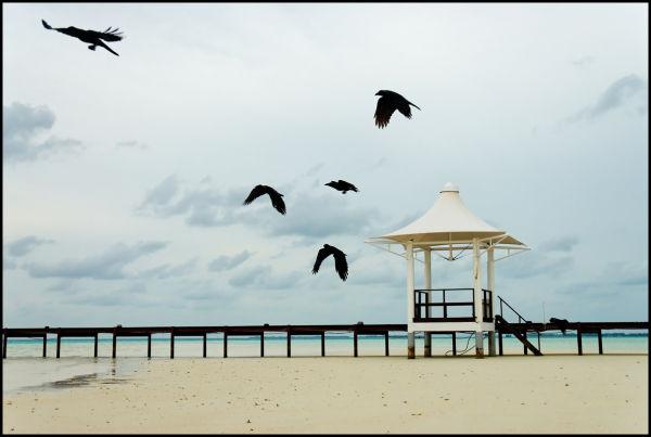 Crows taking off, Chayaa Resort, Maldives