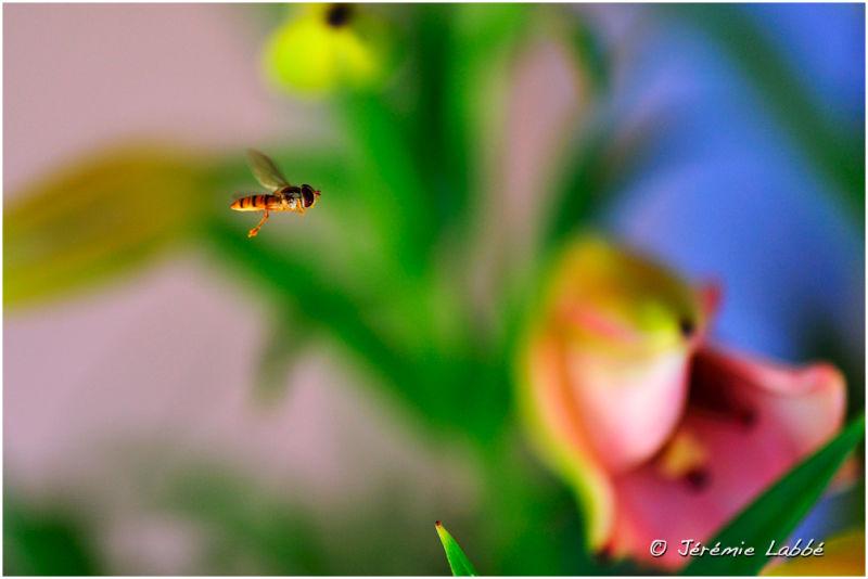 Wasp flying, Lubéron, France