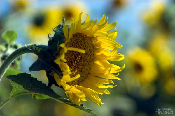 sunflower celebration