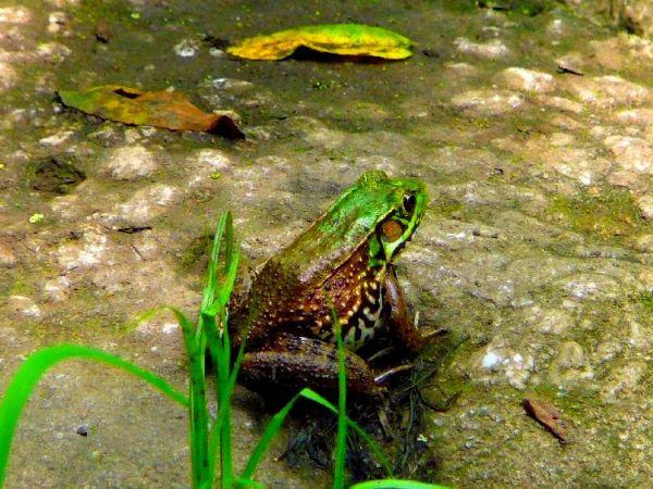 Wildlands frog