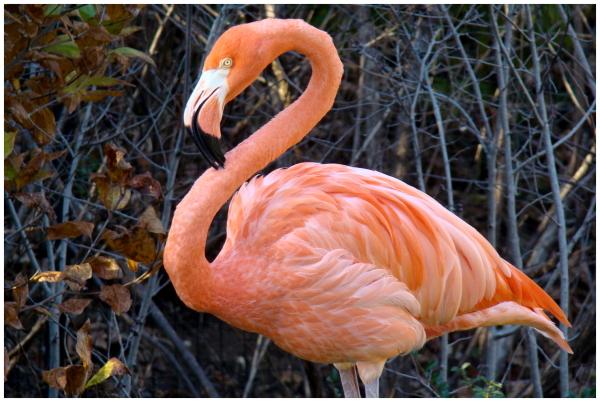 Nashville, Zoo, Flamingo