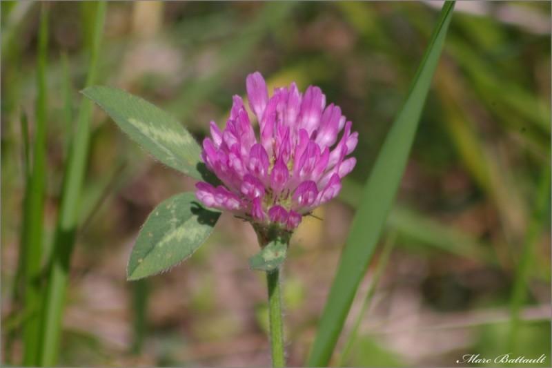 fleur de trefle...................