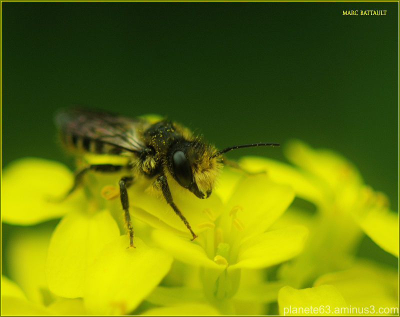 l'abeille ,au coeur d'or .........................