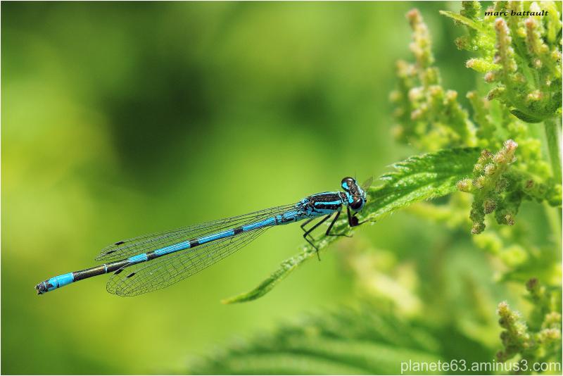 menthe bleue ...................................