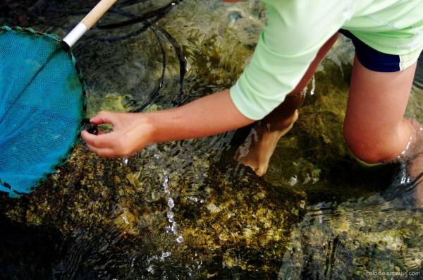 La pêche aux bigorneaux