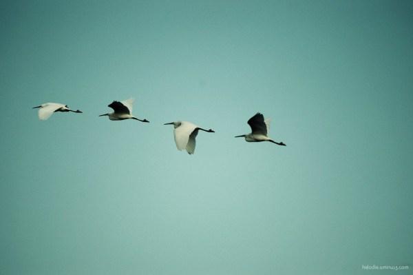 oiseau bird aigrette