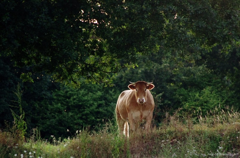 vache cow normandie