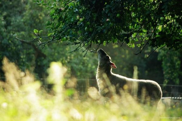 Mouton et pommes