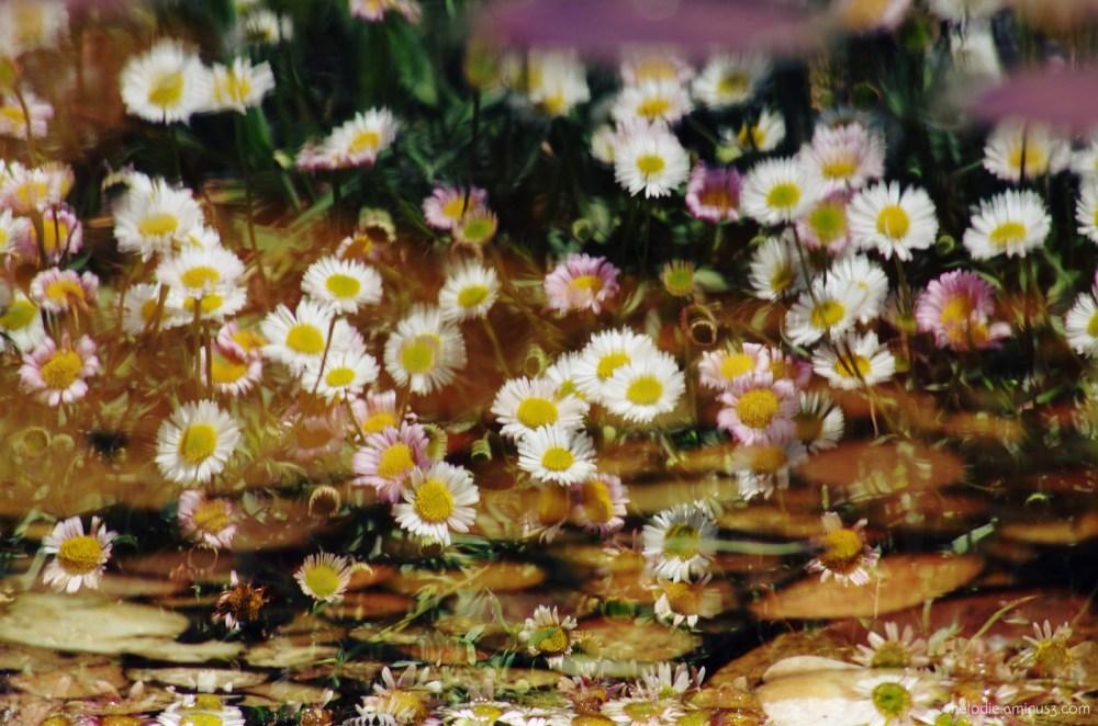 Marguerites au reflet