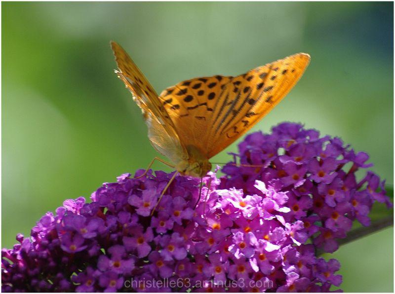 papillon nacré de la ronce