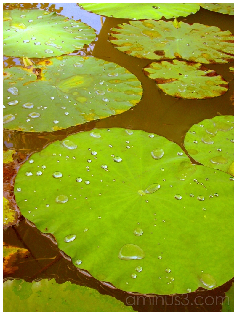 Lily Pads, Marriot Resort, Bangkok, Thailand
