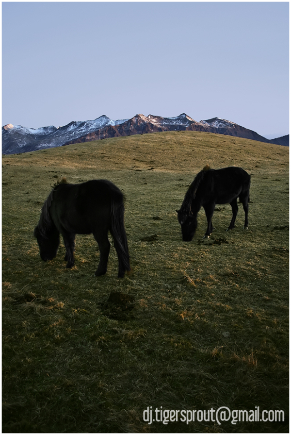 Grazing on Hills of Winter Green, Hofn, Iceland