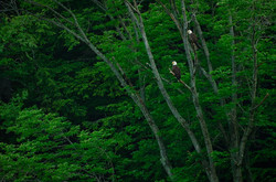 Pine Creek Bald Eagles