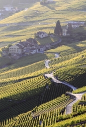 Vineyard in Lavaux (Switzerland)
