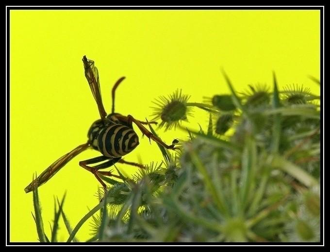 guèpe jaune macro insecte