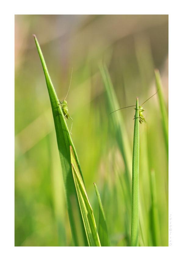Deux larves de sauterelle dans l'herbe