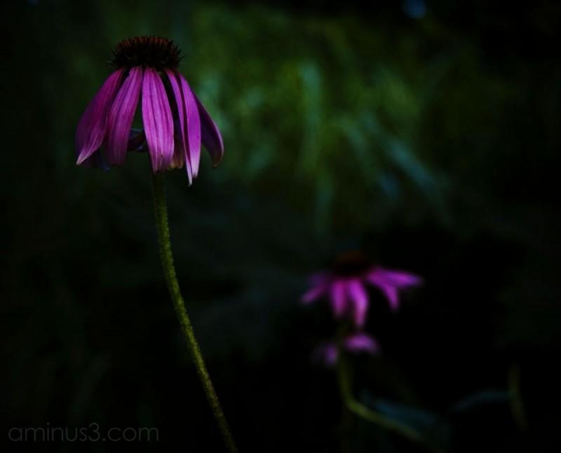 two dark purple coloured flowers, shallow depth
