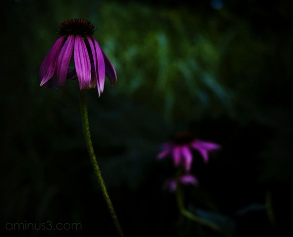two dark purple coloured flowers, shallow depth