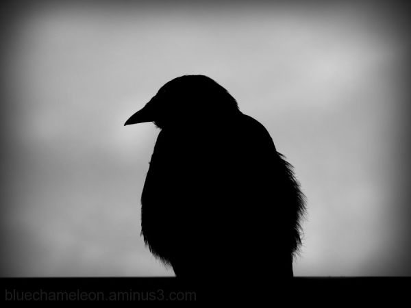 a silhouette of a lone raven
