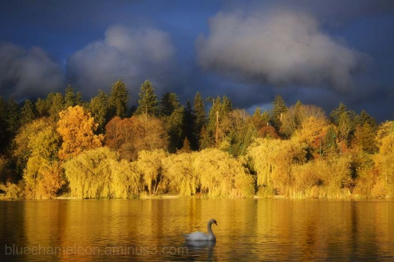 A single swan swims across a lagoon of gold