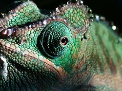 water droplets on a blue chameleon