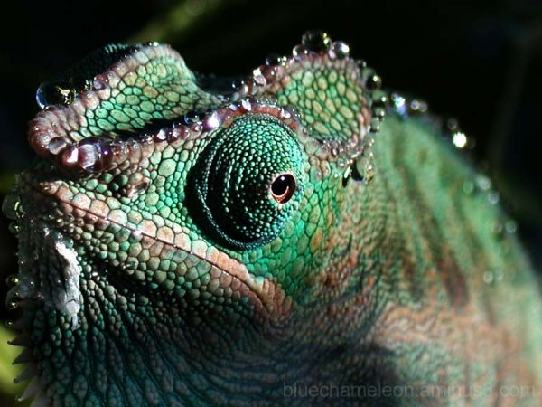 close up of water droplets on a blue chameleon